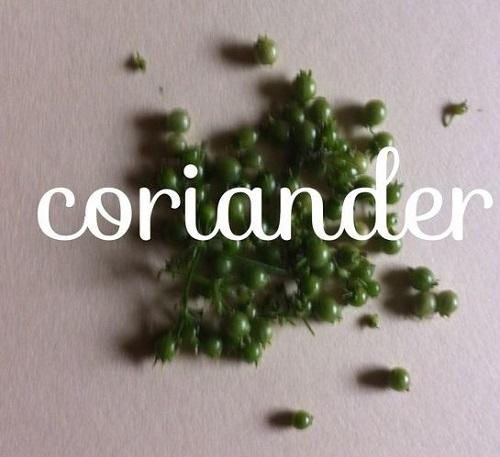 coriander1